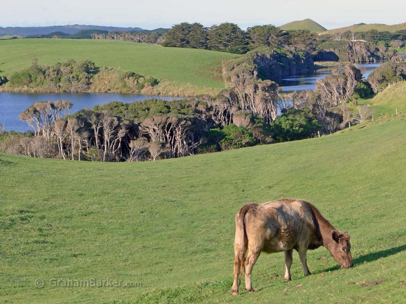 Cow near Surprise Bay, King Island