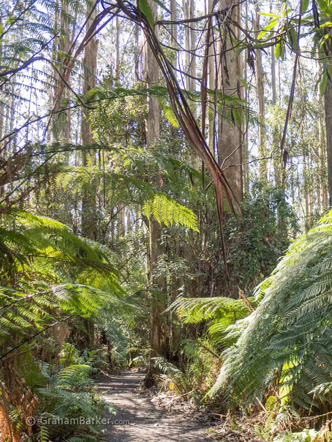 Tarra Bulga National Park, Victoria