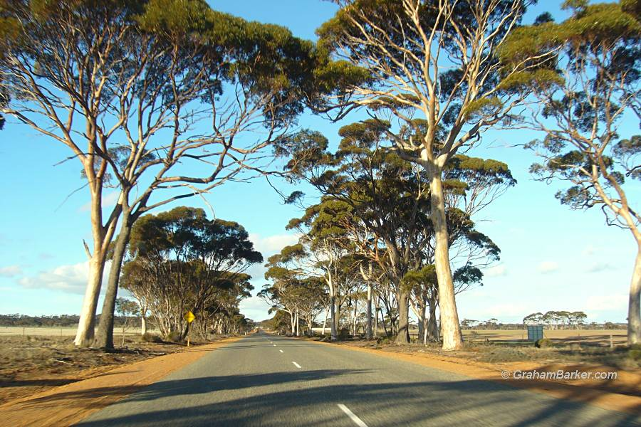 Road lined with salmon gums, wheat belt, Western Australia